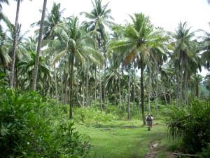 Coco trees
